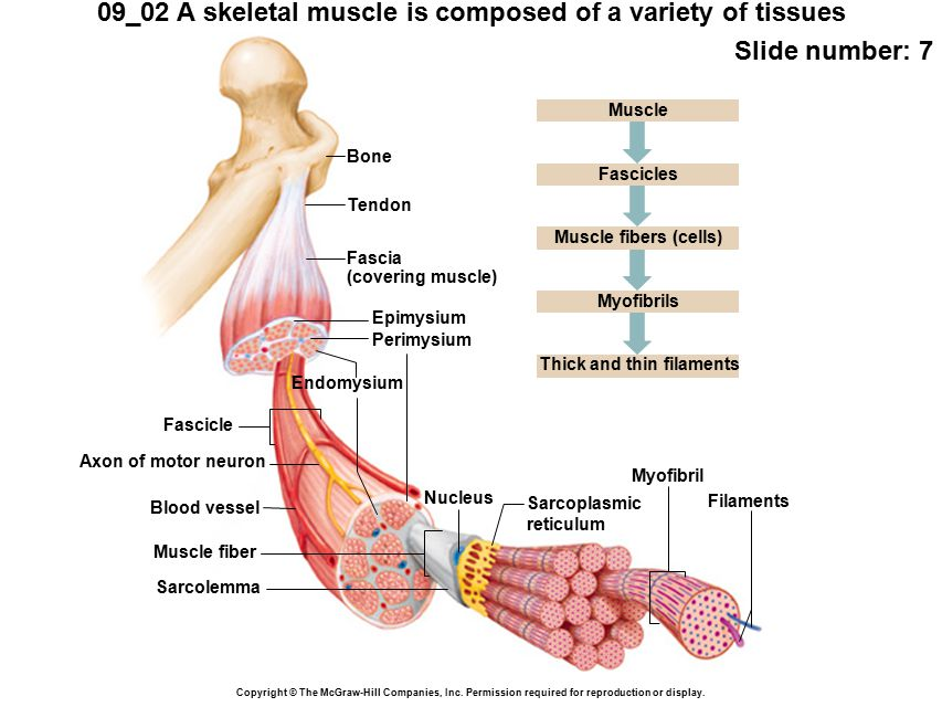 blank nerve diagram cessna 172 wiring 09_02 a skeletal muscle is composed of variety tissues - ppt video online download