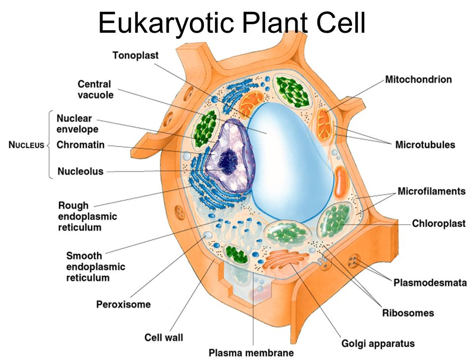 euglena cell diagram with labels 1965 ford ranchero wiring protist all data block model introduction to protists ppt download