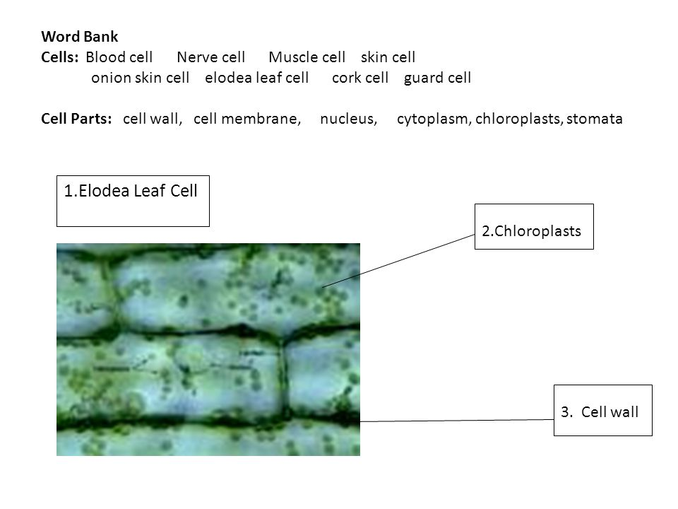 elodea leaf cell diagram 1998 club car wiring 36 volt cells blood nerve muscle skin ppt video word bank