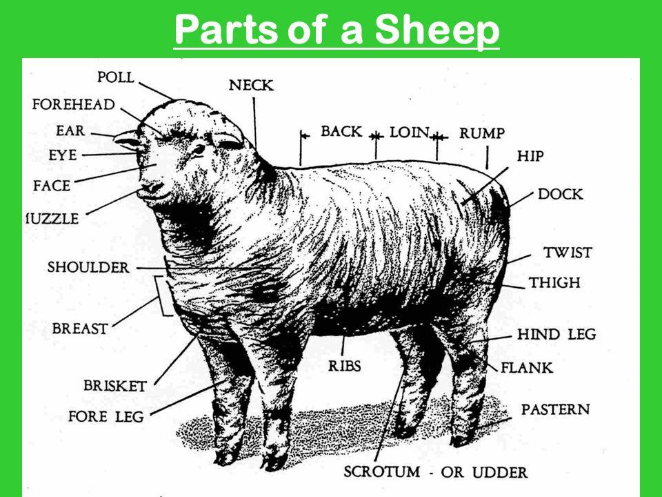 sheep skeleton diagram 2016 f150 speaker wiring online by alisa kowalski brian sobecki ppt video download lamb