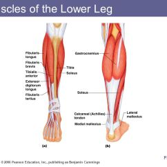 Medial Lower Leg Muscles Diagram Complete Parts E46 Pearson 33 Wiring Images Of The Muscular System Ppt Download
