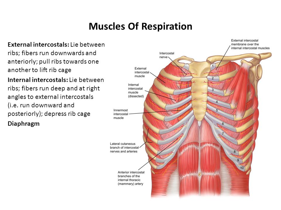 diagram of rib cage and muscles rs232 wiring db9 naming skeletal ppt video online download respiration