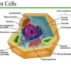 Endoplasmic Reticulum Animal Cell Diagram Leviton Rj45 Jack Wiring The Ppt Download 16 Plant Cells