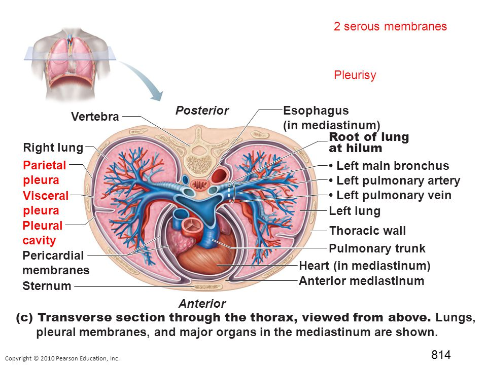 What Are Organs Thoracic Cavity