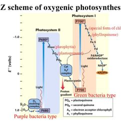 Photosynthesis Z Scheme Diagram Hot Water Music Plicated Atp Synthesis Is Driven By H Gradient Formation The Of Oxygenic