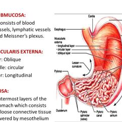 Simple Function Diagram Heart Murmur Histology Of Digestive System Oesophagus, Stomach-fundus & Pylorus - Ppt Video Online Download