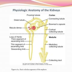 Nephron Diagram From A Textbook Venn Fiction Vs Nonfiction Unit Five The Body Fluids And Kidneys Ppt Video Online Download 10 Physiologic