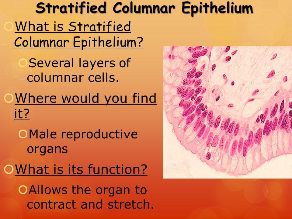 stratified columnar epithelium diagram 1975 honda ct90 wiring ppt video online download 65