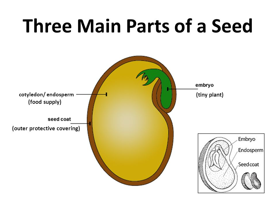 parts of a flowering plant diagram label heart seed. - ppt video online download