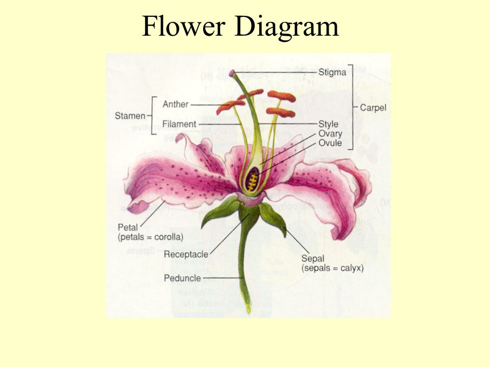 diagram of a flowering plant with label 1966 ford mustang wiring use the following to flower below ppt video 5