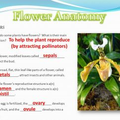 Flower Parts Diagram Harbor Freight Security Camera Wiring Ppt Video Online Download To Help The Plant Reproduce By Attracting Pollinators