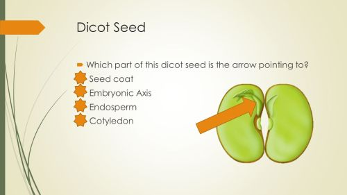 small resolution of 52 dicot seed
