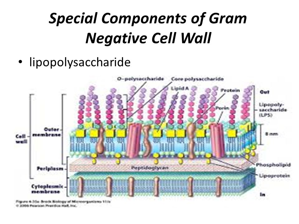gram positive cell wall diagram dual voice coil subwoofer box bacterial morphology and structure - ppt video online download
