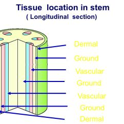 Flower Transpiration Diagram Jeep Lj Wiring Structure Of Flowering Plants - Ppt Video Online Download