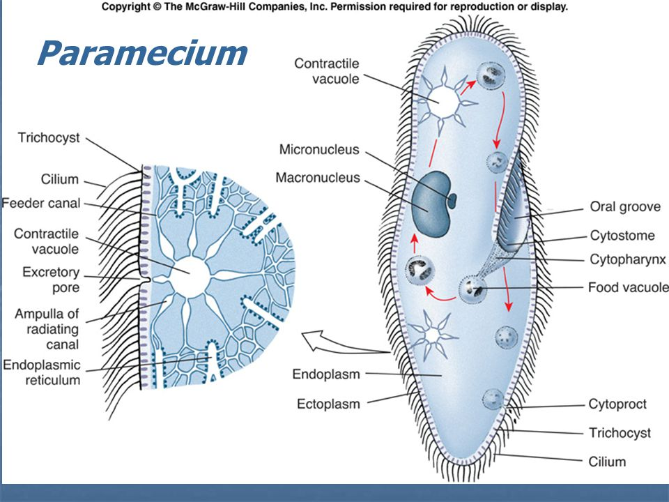 paramecium diagram blank oil furnace electrode adjustment golfclub