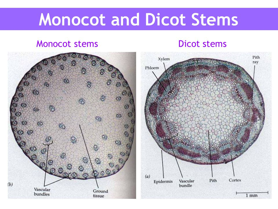 dicot stem diagram 2jz wiring stems are adapted to different environments ppt video online download monocot and