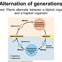 Life Cycle Of A Labeled Moss Diagram 2000 Chevy Silverado 2500 Radio Wiring Ppt Video Online Download 2 Alternation Generations