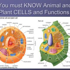 Animal Cell Diagram With Functions 1994 4l80e Wiring And Their Organelles - Ppt Video Online Download