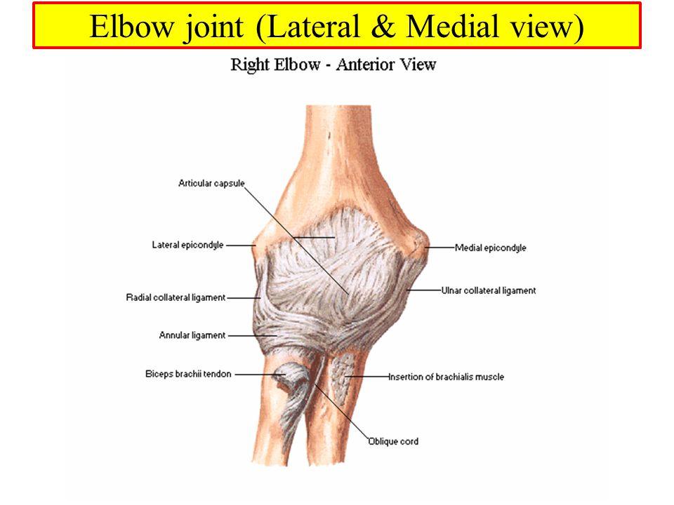 Vs Anatomy Anterior Posterior Elbow
