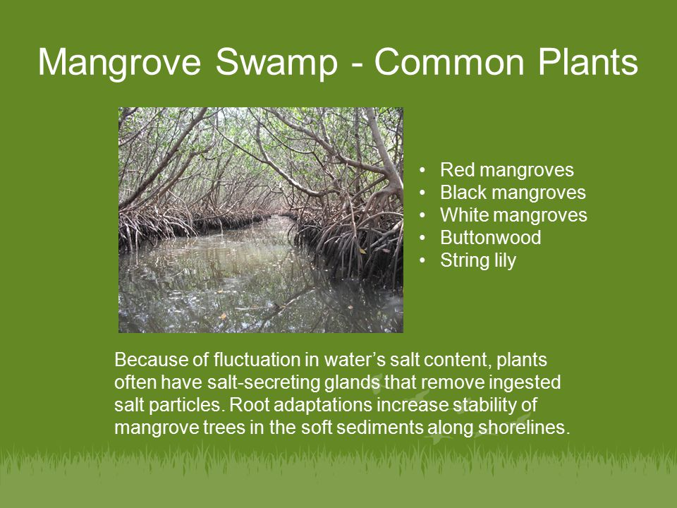 Environments Unit Mangroves  ppt video online download