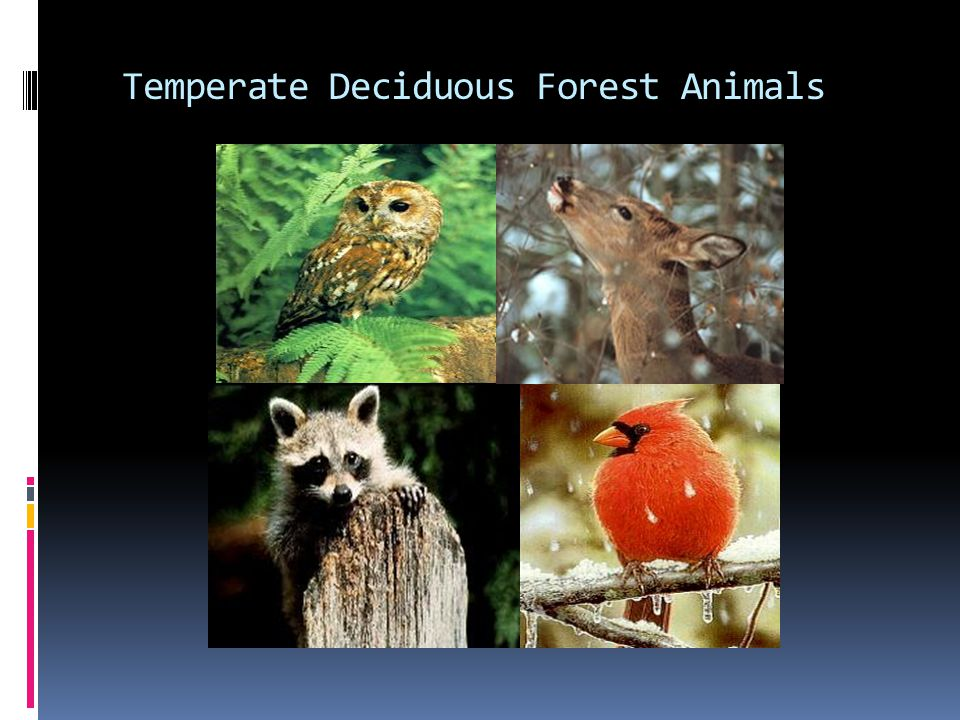 Most temperate deciduous forests have a very high biodiversity. Temperate Deciduous Forest Ppt Video Online Download