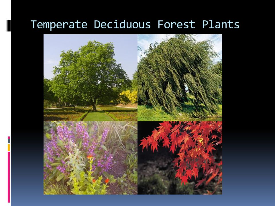 Temperatures in boreal forests are, on average, below freezing. Temperate Deciduous Forest Ppt Video Online Download
