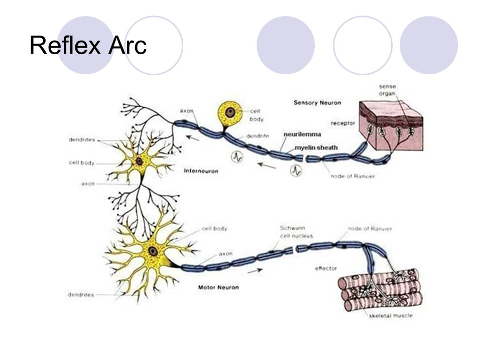 reflex arc diagram delco 7si alternator wiring nerve cells the neuron. - ppt download