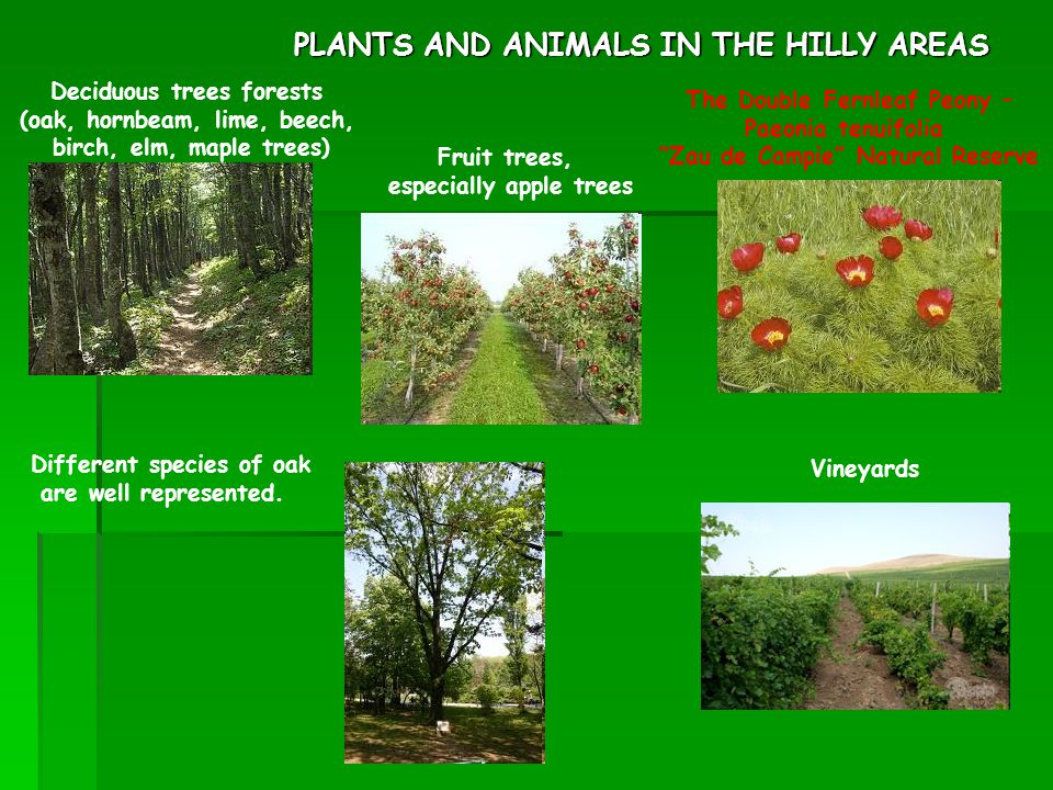 TYPICAL PLANTS AND ANIMALS IN ROMANIA  ppt video online