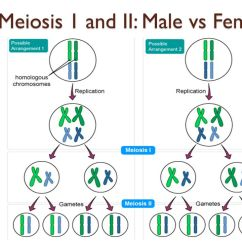 Meiosis 1 Diagram Skull Quiz Chapter 4 3 Guided Notes Ppt Download 9 And Ii Male Vs Female