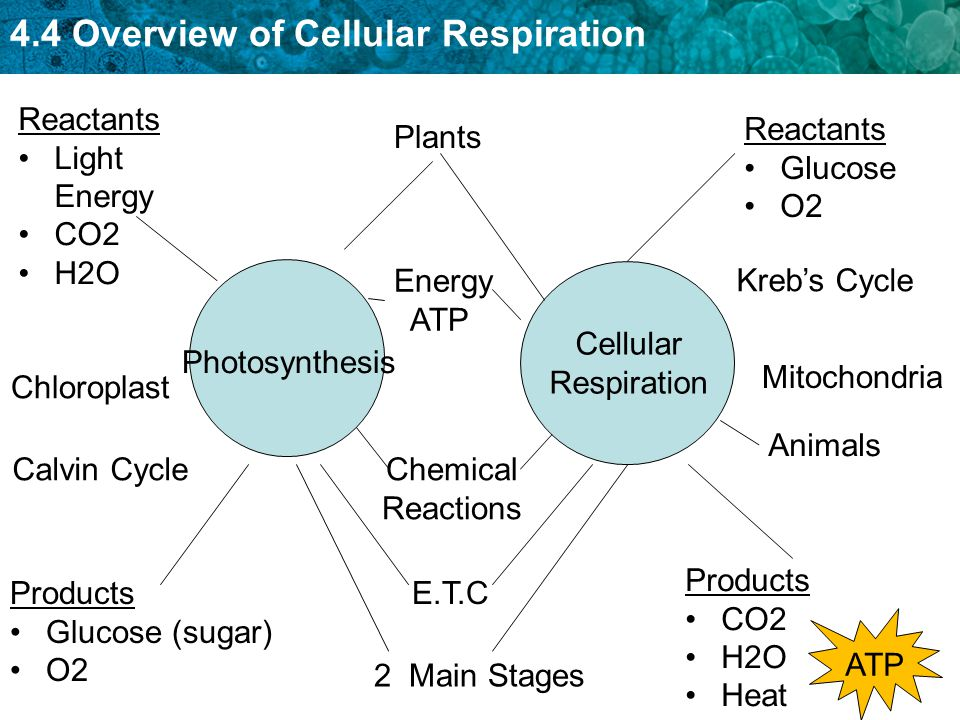 calvin cycle diagram hpm dimmer switch wiring 4.4 intro to cellular respiration - ppt video online download