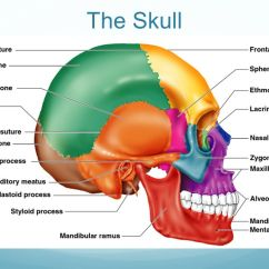 Axial Skeleton Skull Diagram 2001 Dodge Durango Stereo Wiring The Skeletal System Part 1 Ppt Video Online 6