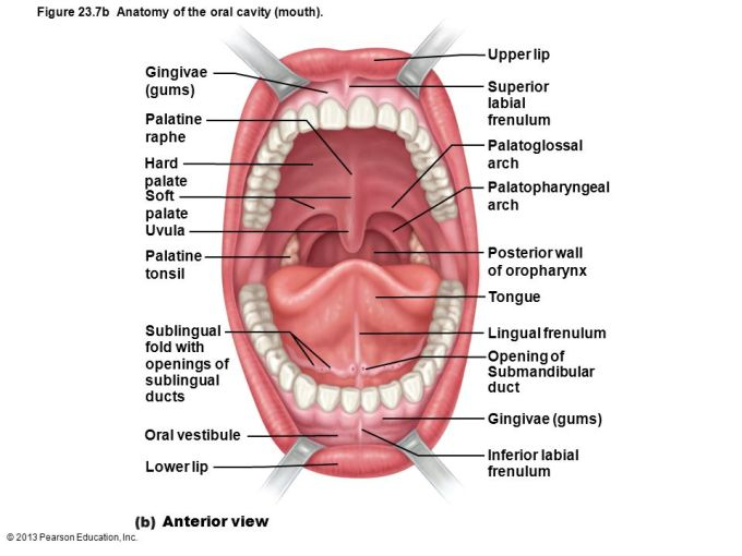 Anatomy Of The Lips And Gums | Lipsviews.org