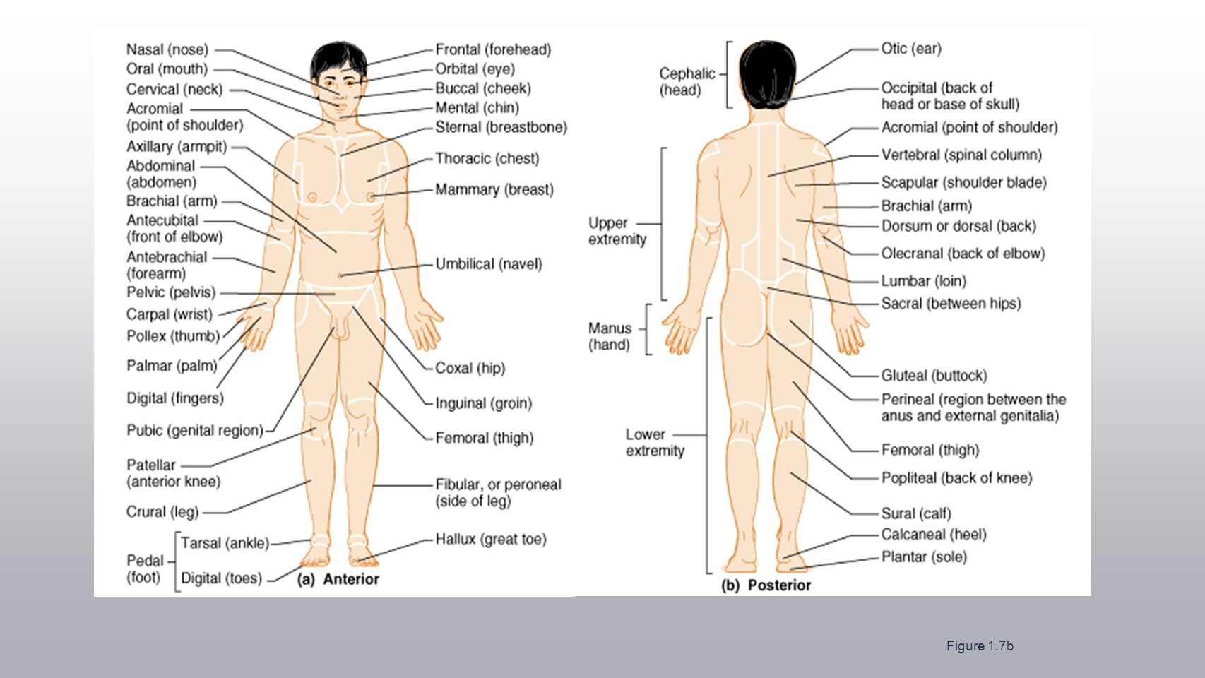 Chapter 1 The Human Body An Orientation Worksheet Answers