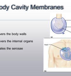 ventral body cavity membranes [ 1706 x 960 Pixel ]