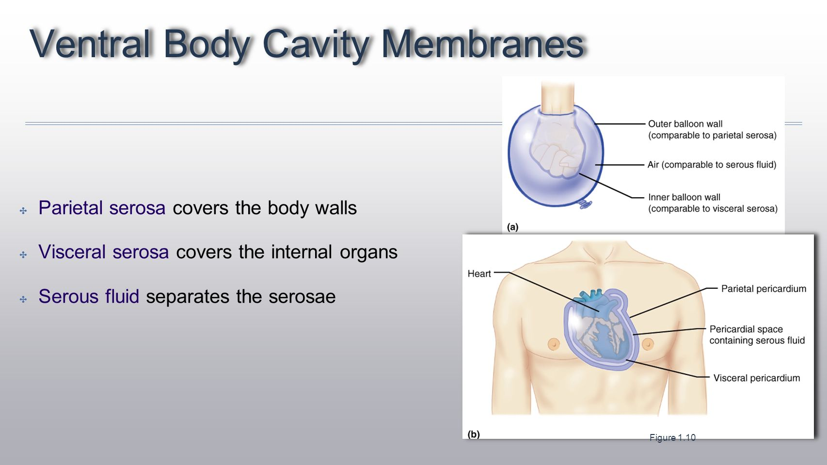 hight resolution of ventral body cavity membranes