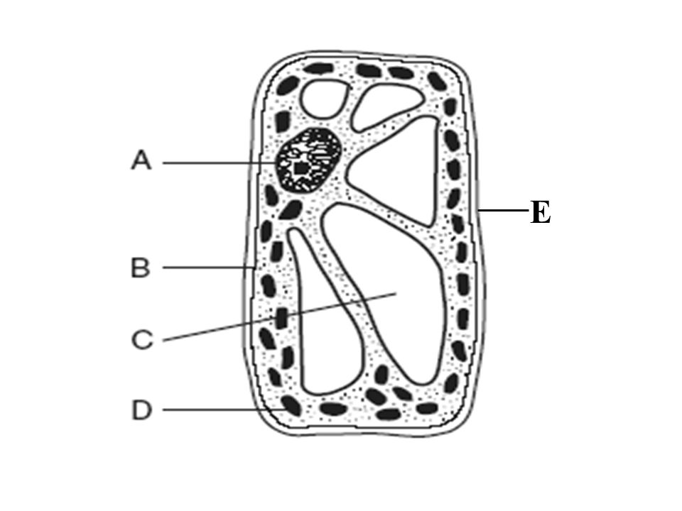 TOPIC: Cells AIM: Describe the different cell organelles