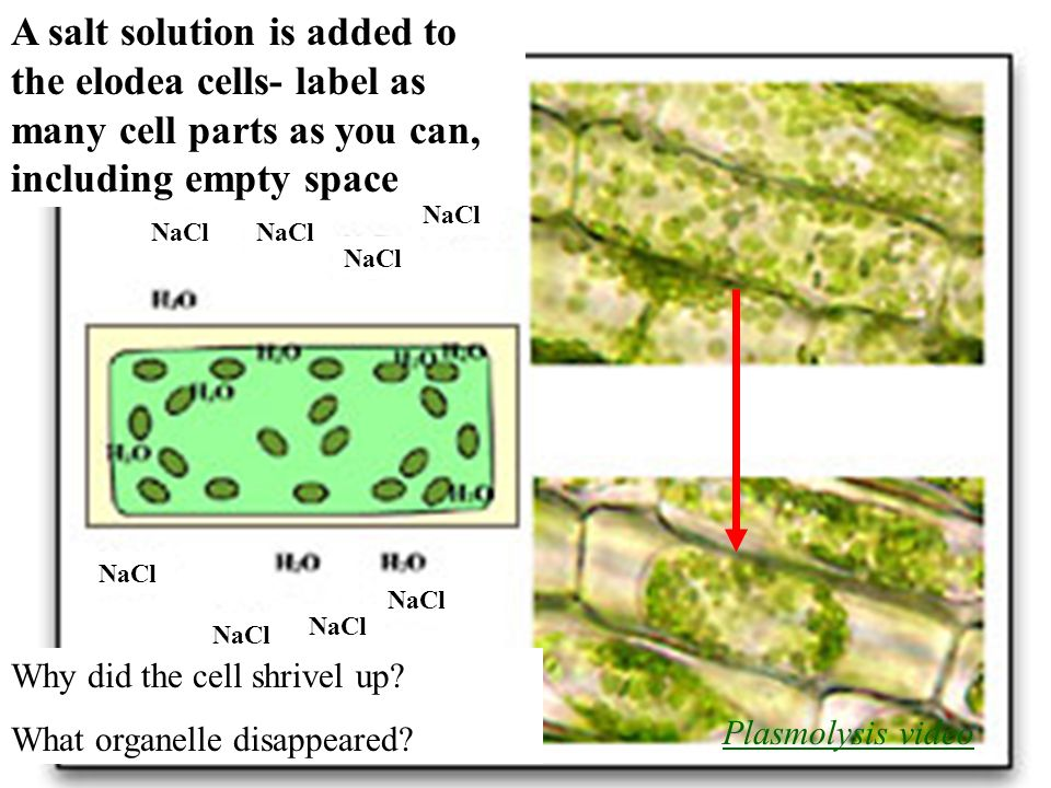 euglena cell diagram with labels mitochondrion structure label of elodea cells wiring diagrams lose