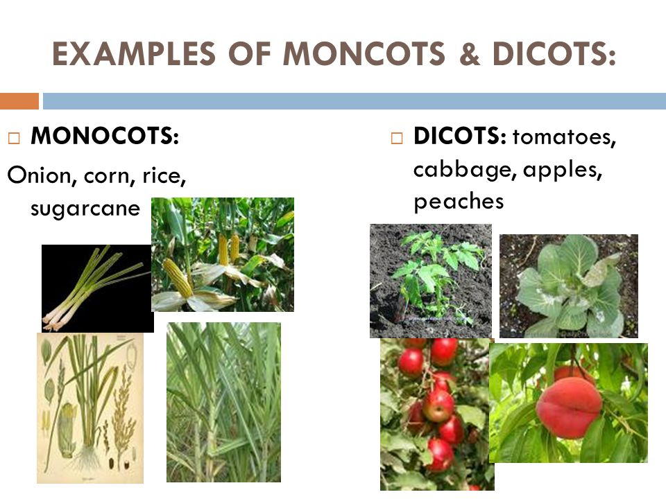 PLANTS – DAY 3 MONOCOT & DICOTS Ppt Video Online Download
