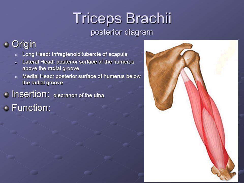 triceps brachii diagram pump control panel wiring schematic shoulder elbow wrist and hand ppt video online download 17 posterior