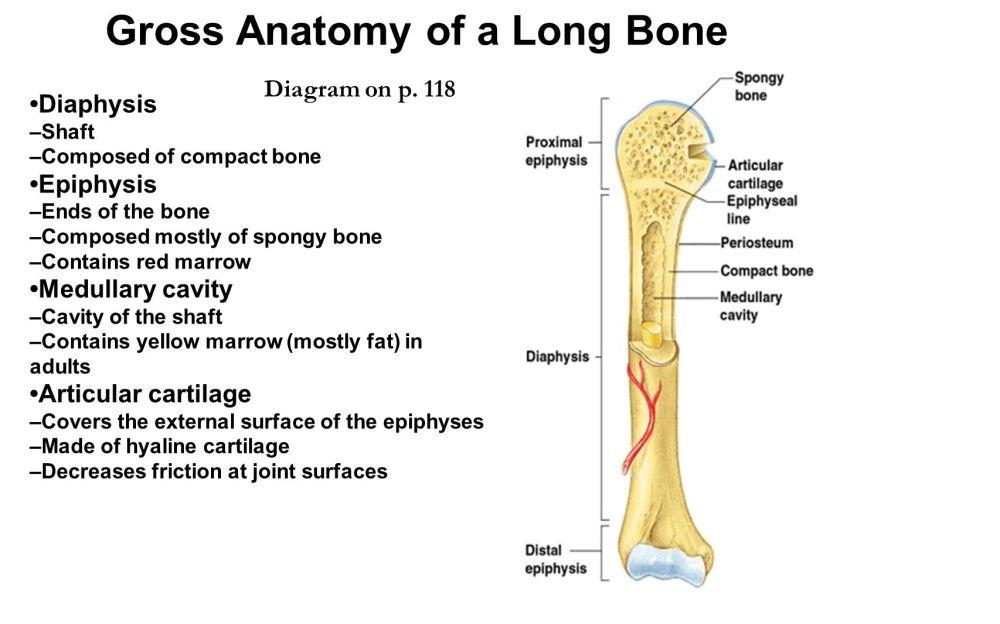 medium resolution of gross anatomy of a long bone