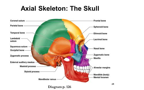 small resolution of axial skeleton the skull