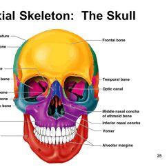 Axial Skeleton Skull Diagram Craftsman Ltx 1000 Parts The Skeletal System Chapter Ppt Video Online Download