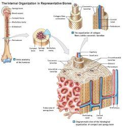 figure 5 2a c the internal organization in representative bones [ 1280 x 720 Pixel ]