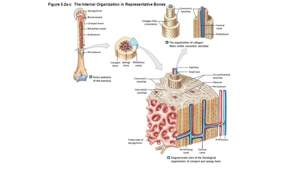 medium resolution of figure 5 2a c the internal organization in representative bones
