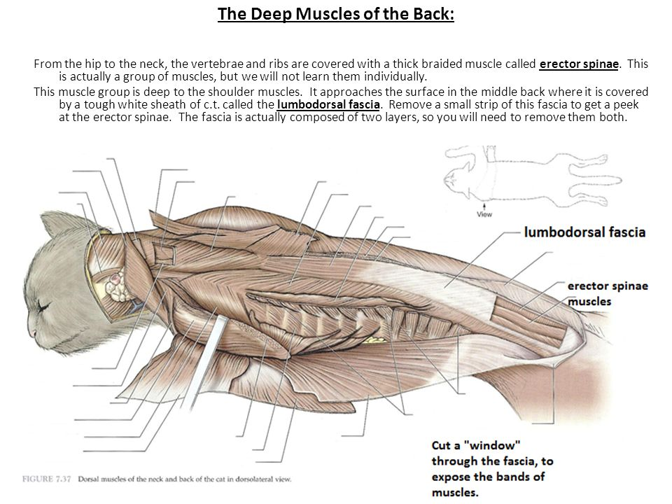 cat dissection muscle diagram back open source network tool vesterby s ppt video online download the deep muscles of