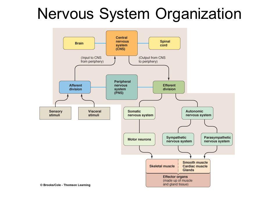 The Central Nervous System Ppt Download