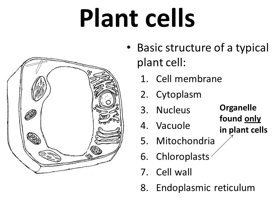 plant cell parts pictures