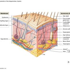Skin Layers Diagram Labeled Simple Harley Speed Sensor Wiring 3d Of Free For You Figure 5 1 The Components Integumentary System In Order