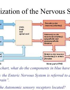 Organization of the nervous system also tissues and spinal cord ppt video online download rh slideplayer