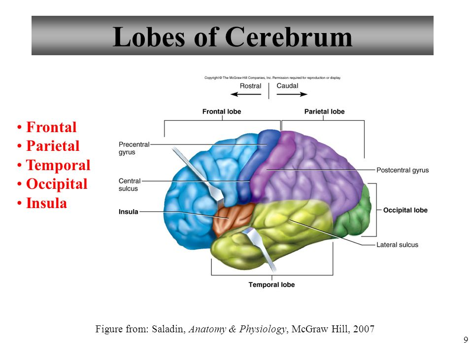 Chapter 13 Lecture 20 Brain And Cranial Nerves Ppt Video